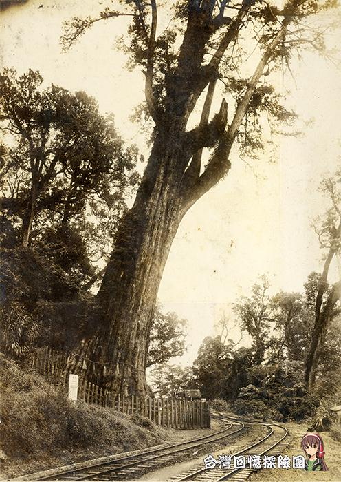 日本時代的阿里山神木
